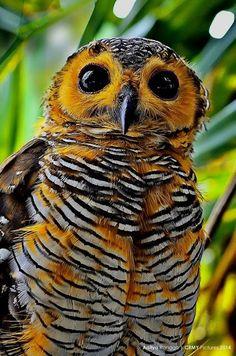 beautiful owl - so very colourful!