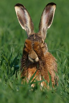Feldhase, Lepus europaeus, European Hare Just about the most adorable thing I have ever seen !!!!