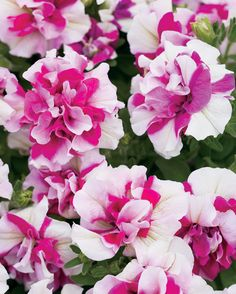 Supertunia® Double Peppermint petunias from Proven Winners® are beautiful on t. - About Garden and Flowers Petunia Tattoo, My Flower, Flower Power, Beautiful Flowers, Petunia Plant, Proven Winners, Annual Flowers, Container Gardening, Succulent Containers