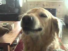 "Funny Dog: The golden ""smile-retriever""!"