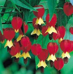 This stunning climber, the abutilon or Chinese lantern, is ideal for covering walls and sheds, with its arching shoots bearing bright-green foliage and spectacular flowers that hang in the air like miniature hot-air balloons.