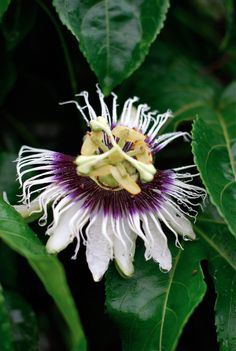 passionfruit flower, costa rica // brooklyn supper
