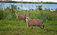 El ciervo de los pantanos (Blastocerus dichotomus) es el mayor de los cérvidos de América del Sur, alcanzando los 2 m de longitud y 1,20 m de altura hasta la cruz.  Se lo conoce también como: guasú pukú o guazú pucú ('ciervo grande') en idioma guaraní huasé en idioma wichi epelve en idioma mocoví y calimgo en idioma qom (toba). ciervo de las marismas ciervo del Delta ciervo isleño