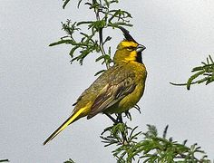 One of Argentinas most threatened species is the oustanding Yellow Cardinal (Ron Knight)