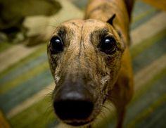 Love greyhounds