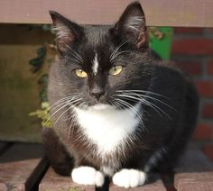 Tuxedo Cat information and markings guide with pictures and descriptions featuring our exclusive -CatStats- Fact Files!