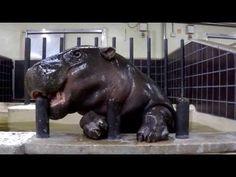 ▶ 上野動物園コビトカバ_ナツメのご挨拶(ゴチン編) - YouTube