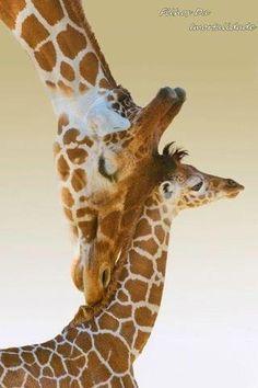 Mamãe girafa e seu bebê
