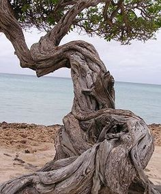 Driftwood tree on the beach. Francis Hallé, Weird Trees, Bristlecone Pine, Unique Trees, Old Trees, Tree Trunks, Beautiful Places To Visit, Tree Art, Tree Of Life