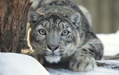 Image result for snow leopard