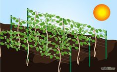 How to Grow Grape Vines: 10 Steps (with Pictures) - wikiHow