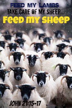 John 21:16 ~ Feed My sheep, feed My lambs, take care of My sheep! ~ Scottish blackface sheep