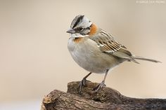 copetón - Zonotrichia capensis or Rufous-collared sparrow Cold Case, Bird Species, Beautiful Birds, Safari, Creatures, Chickadees, Sparrows, Animal Photography, Sketching