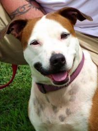 Meet Livy, a Petfinder adoptable American Staffordshire Terrier Dog | Inman, SC | Livy is a bright light in the dark who can brighten up the gloomiest day just by being herself. To...