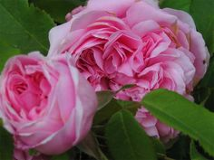 'Jacques Cartier' * (1868) - syn. 'Marchesa  Boccella' - AGM 1993. Portlandroos. Lichtroze bloemen (8-10cm) met donkerder midden en  met uitzonderlijk sterke geur. Zeer ziekteresistent en sterk. verdraagt wat schaduw. 120cm x 90cm. (Gelijkt sterk op 'Comte de Chambord', maar nog mooiere bloemen en minder herbloei).