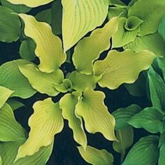 Green Hill Farm, Great New Hostas Wholesale and Retail   H.'Delona's Smile' Solberg 2013r