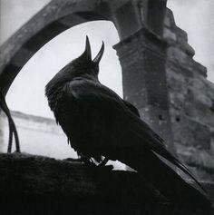 liquidnight: Arthur Tress - Raven, San Miguel de Allende, Mexico, 1964 From Arthur Tress - Fantastic Voyage, Photographs Arthur Tress, Quoth The Raven, Raven Art, Crow Art, Jackdaw, Crows Ravens, Pow Wow, Foto Art, Fauna