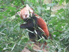 De Rode panda in Dierenpark Wissel.