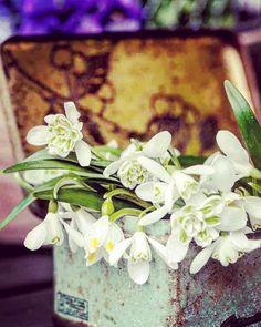 Dessa dubbla snödroppar gör mig sådär knäsvag som bara en vacker blomma kan... Har inte ren enda i trädgården av nån oförklarlig anledning. Måste rättas till!  #snödroppar #snowdrops #vårblommor #springflowers