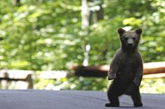 Romania Bans Hunting of Its Bears, Wolves, and Big Cats Romania contains the greatest population of large carnivores in Europe, and now the country's brown bears, wolves, lynx, and wild cats are getting a reprieve from the greatest threat to their survival: trophy hunters. Government officials …