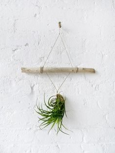 Beautiful display of an air plant. @Shana Wood @Keely Harris @Christan Vick