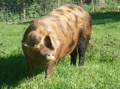 """The Oxford Sandy and Black is a breed of domestic pig originating in Oxfordshire. Named for its color, which is a base of sandy brown with black patches, the breed is also sometimes called the """"Plum Pudding"""" or """"Oxford Forest pig."""" Related to the old Berkshire and Tamworth breeds, it is one of the oldest pigs native to Britain. The breed has twice neared extinction, but has recovered due to the efforts of a dedicated breed association. It is still considered an at risk breed."""