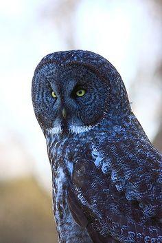 Great Grey Owl(Strix nebulosa) | Flickr - Photo Sharing!