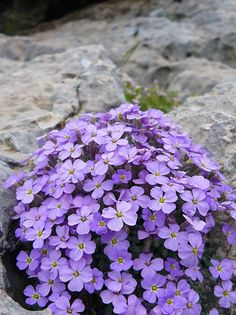 Aubrieta deltoidea (Rock Cress); great plant for a rockery