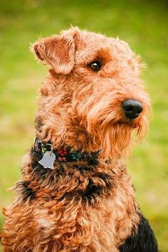 Sweet-faced Airedale.