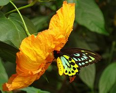Butterfly feeding on Hibiscus Nectar