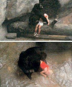 After an 18 month old boy fell 18 feet to the concrete of a gorilla cage, this old girl gently picked the boy up and cradled him then pat his back gently then carried him all the way to the entrance for the zoo worker to take the boy. She even growled at another female as it approached the boy. The boy spent 4 days.in the hospital and recovered completely