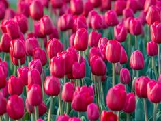 Tulip Time Festival | Bowral Event