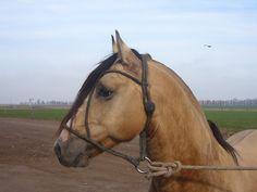 Criollo stallion Laques Iupalala