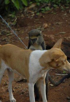 Monkey Grooming a Basenji!