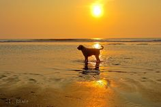 Dogs love beaches. In The Outer Banks, we love dogs.
