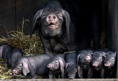 Proud sow Miep with her new brood, the first litter of rare Meishan piglets to be born in the UK for 30 years at Whauphill Farm, Dumfries and Galloway; picture: Mark Sutherland / SWNS.com