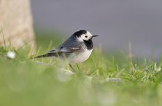 A winter guest of the hotel: White wagtail  Witte kwikstaart  Bachstelze  Bergeronnette grise  Motacilla alba