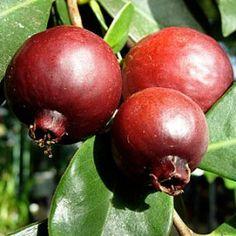 Psidium cattleianum (Strawberry Guave) seeds Strawberry Guava, Guava Tree, Exotic Fruit, Plum, Mango, Apple, Plants, Food, Garden