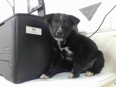 This DOG - ID#A472153 I am a male, black and white Labrador Retriever mix. The shelter staff think I am about 6 weeks old. I have been at the shelter since Nov 11, 2016. This information was refreshed 48 minutes ago and may not represent all of the animals at the Harris County Public Health and Environmental Services.