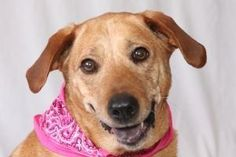 Sadie URGENT! (FOR-A) is an adoptable Yellow Labrador Retriever Dog in Salem, NH. Best friends make life better. Sadies talent is friendship and she's very good at it! Shes all girl. At approximately ...