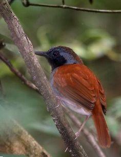 Formigueiro-de-barriga-branca (Myrmeciza longipes)