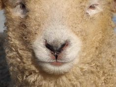 """♥ From the Facebook page of The Risby Flock of Lincoln Longwools:  """"Face to face(book)"""" ~ April 2016  ♥"""