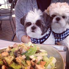 "The @gizziepie shih tzu sisters ""Having a healthy lunch at Tender Greens"" #tendergreens #salad #healthy"
