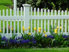The white picket fence is perfect for these flowers. The blue and yellow are so pretty.