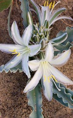 Desert Lily - Florais da California