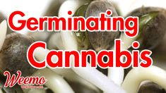 Many growers have a hard time germinating seeds but with this guide, you are sure to nail it! Germination is the process of getting your seeds to sprout. You know sprouting has occurred when a little white tendril pops out of the seed. Cannabis Edibles, Cannabis Plant, Wake And Bake, Marriage Life, Sprouts, I Am Awesome, Seeds, Nail, Nails