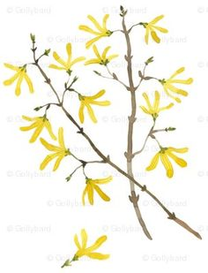 so very lovely. watercolor forsythia - the first bloom of spring - on fabric...