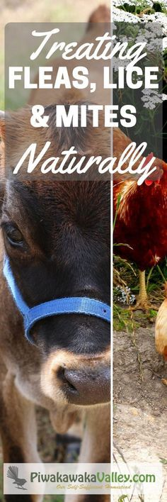 Simple, natural methods that really work! Treating fleas, lice and mites in chickens, goats, dogs, cats, cows and horses.