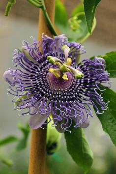 passion4plants:  passiflora 'fata confetto'