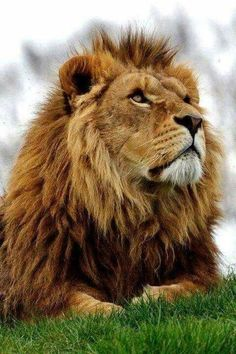 An African Male Lion Lays in Serious Thought. Lion Pictures, Animal Pictures, Big Cats, Cool Cats, Beautiful Creatures, Animals Beautiful, Animals And Pets, Cute Animals, Royal Animals